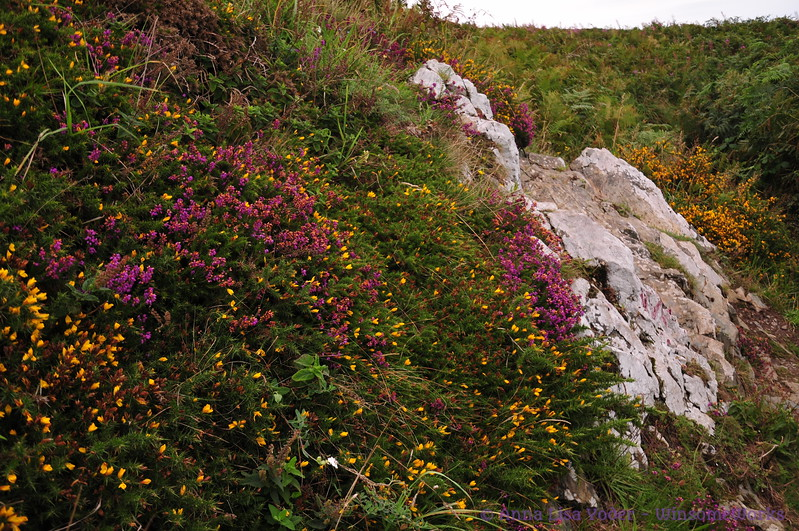 Limestone, heather & gorse along Cliff Path - Howth