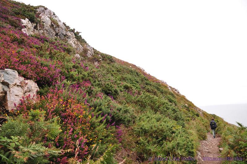Xavier on Cliff Path - Howth Head (bracken, heather & gorse in foreground)