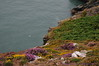 Heather, gorse, bracken & limestone along Cliff Path - Howth