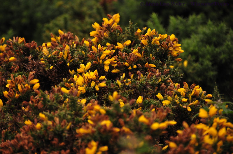 Gorse seen from Howth Cliff Path