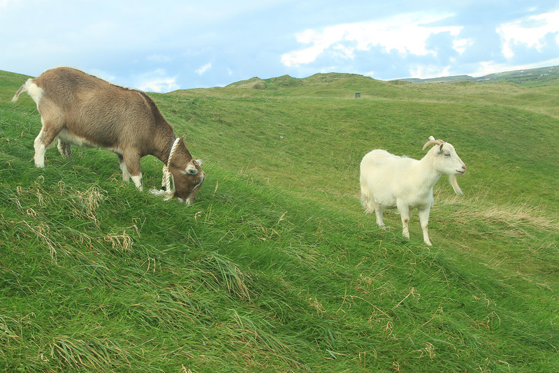 The goats of Lahinch