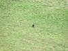Black sheep in Ireland.