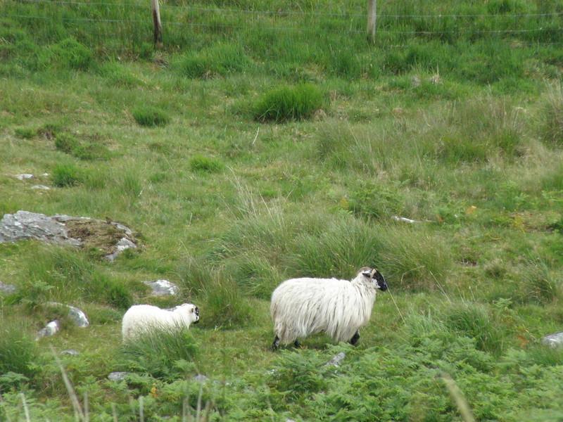 Sheep leading the sheep