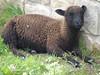 Sheep, Connemara
