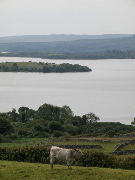 Cow in Connemara