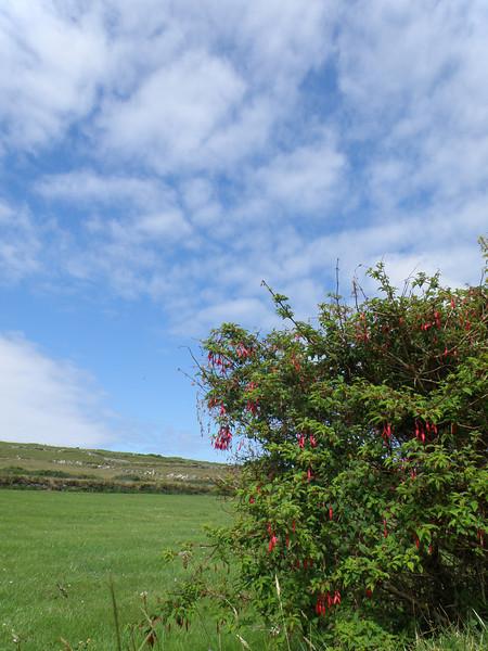 Fuschias, Dingle Peninsula, Ireland