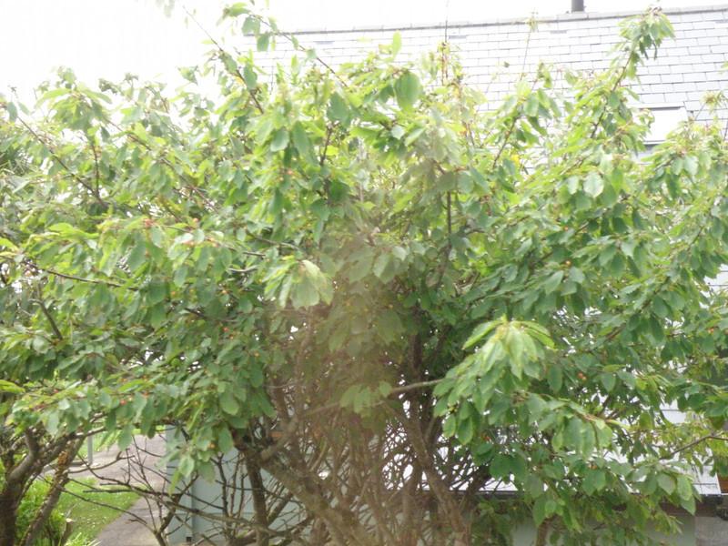 Cherry or crabapple tree