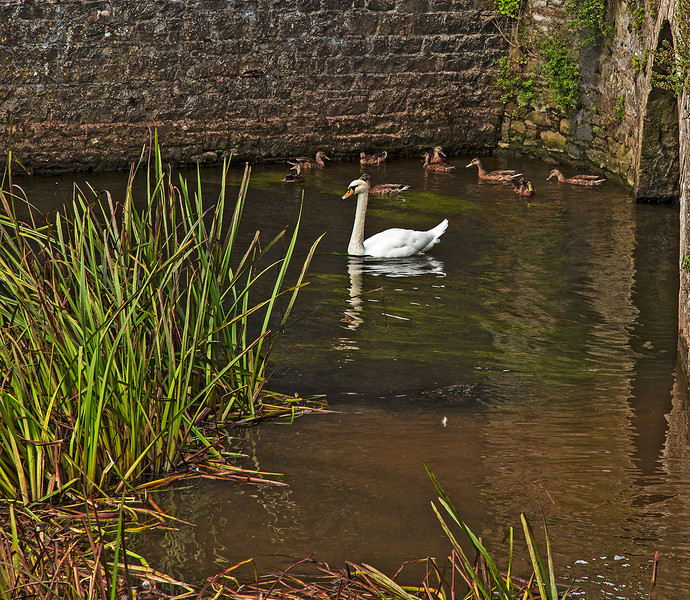 Swan in the moat.