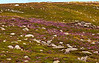 Heather in the Wicklow Mountains.