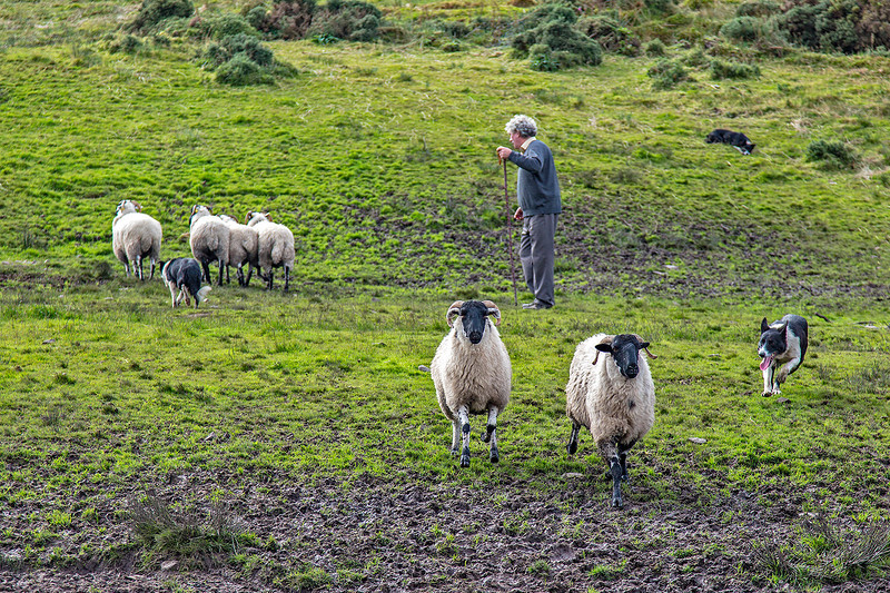 These two collies have been told to separate the sheep, while the other dog just waits for its next instructions.