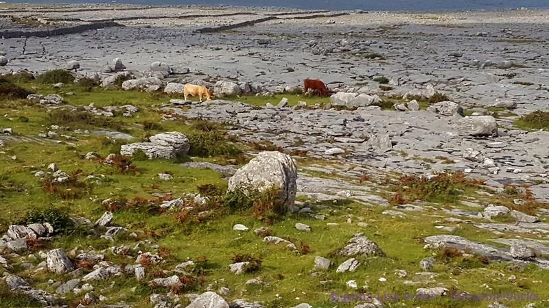 Cows grazing amidst rocks of The Burren, near West coast of Ireland (Galway Bay in background)