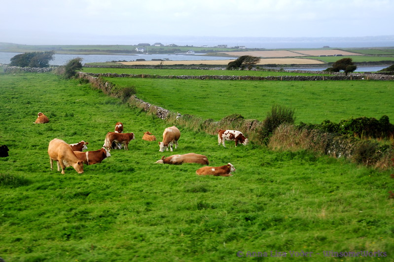 Cows grazing near Muckininsh West, with view of Scanlan's Island