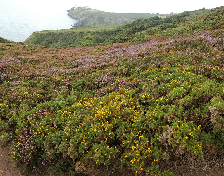 Howth Peninsula, with Bailey Lighthouse in distance & gorse & heather in front