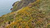 Gorse in bloom along Howth Cliff Path