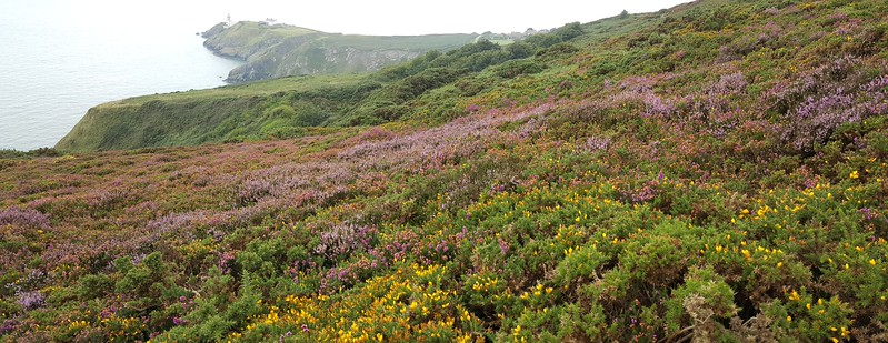 Howth Peninsula panorama, with Bailey Lighthouse in distance & gorse & heather in front