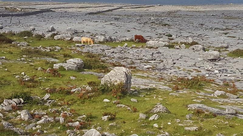 Cows grazing in The Burren, along Galway Bay