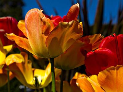Tulips at Powerscourt
