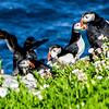 Atlantic Puffins (Fratercula arctica) of Skellig Michael (Sceilg Mhichíl) 8