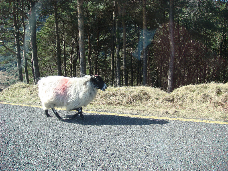 Sheep on the road.  This wasn't the only one we saw, by far.