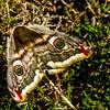 Eyeball Moth (Lepidoptera)