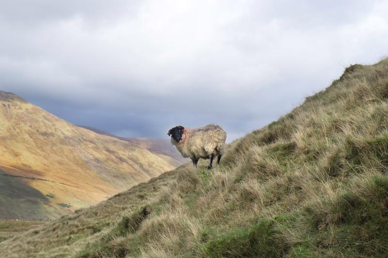 Sheep climbing outside Leenane, Connemara, Co. Galway