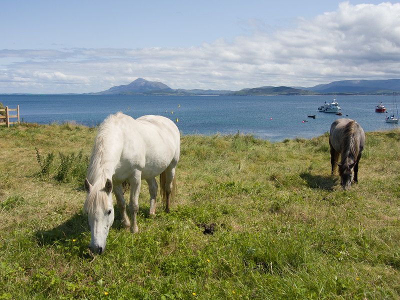 Horses on Clare Island with Croagh Patrick in the background Co. Mayo