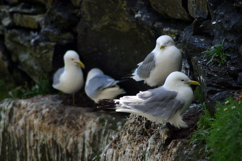 Terns Roosting, Skellig Michael, County Kerry