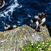 Atlantic Puffins (Fratercula arctica) of Skellig Michael (Sceilg Mhichíl) 7