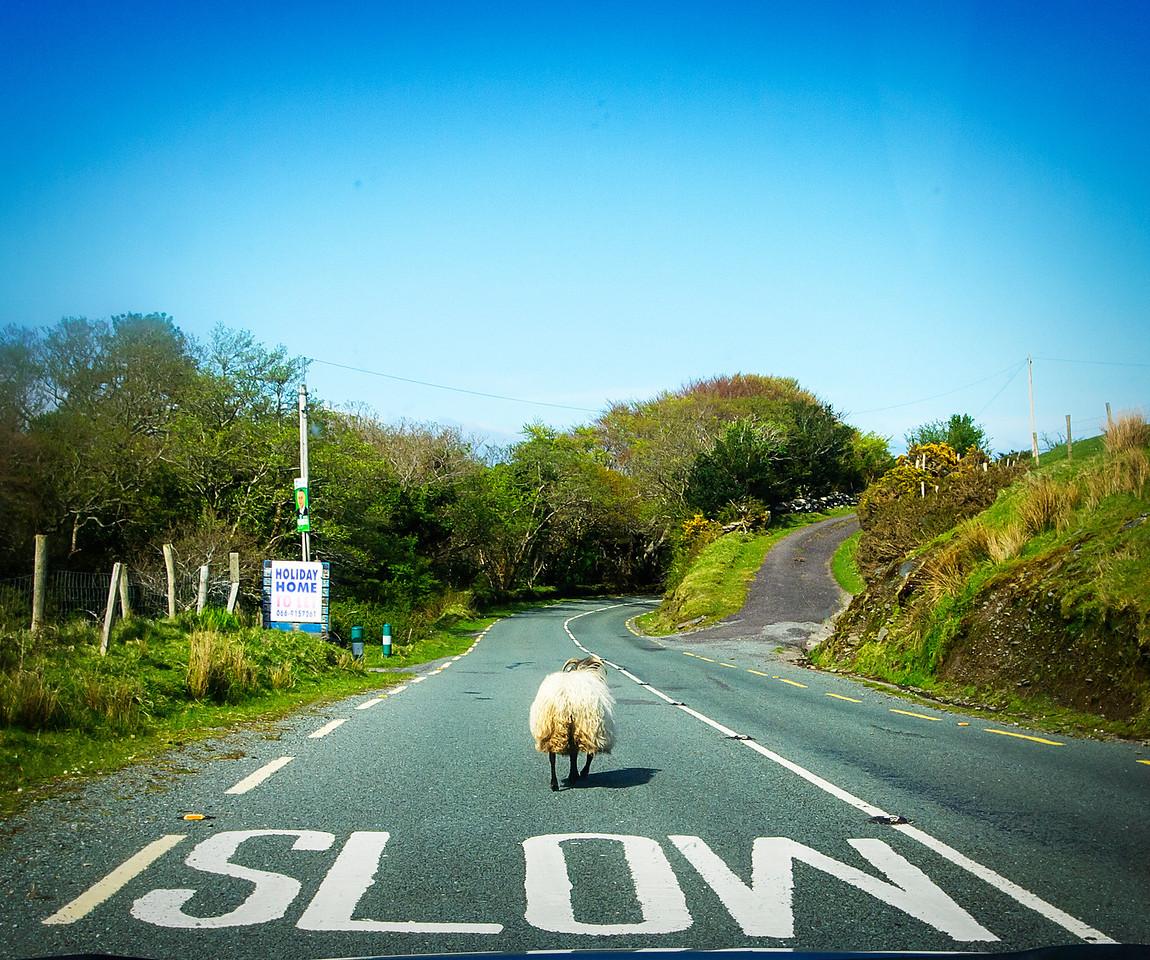 Slow Sheep