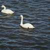 Swans in Galway
