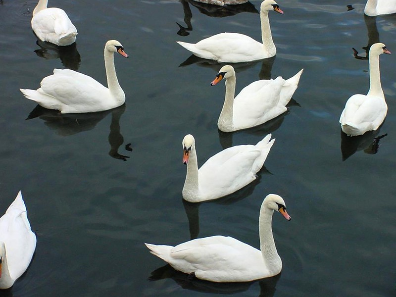 Swans of the Claddagh, Galway City