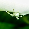 Crab Spider (Thomisidae) on Calla Lily (Zantedeschia aethiopica)