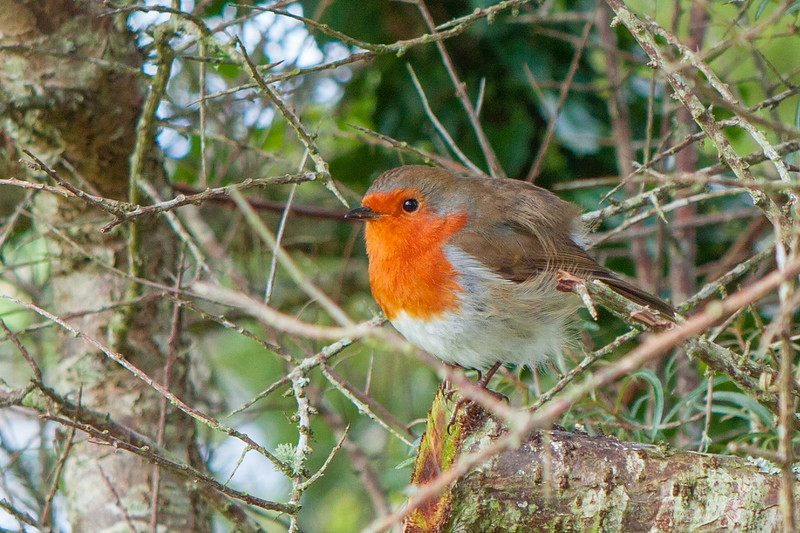Robin at Bantry House Co. Cork