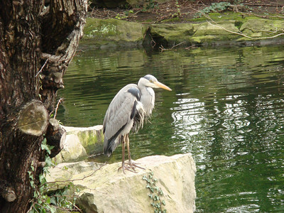 Grey Heron in St. Stephen's Green