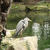 "<a href=""http://en.wikipedia.org/wiki/Grey_Heron"">Grey Heron</a> in St. Stephen's Green"
