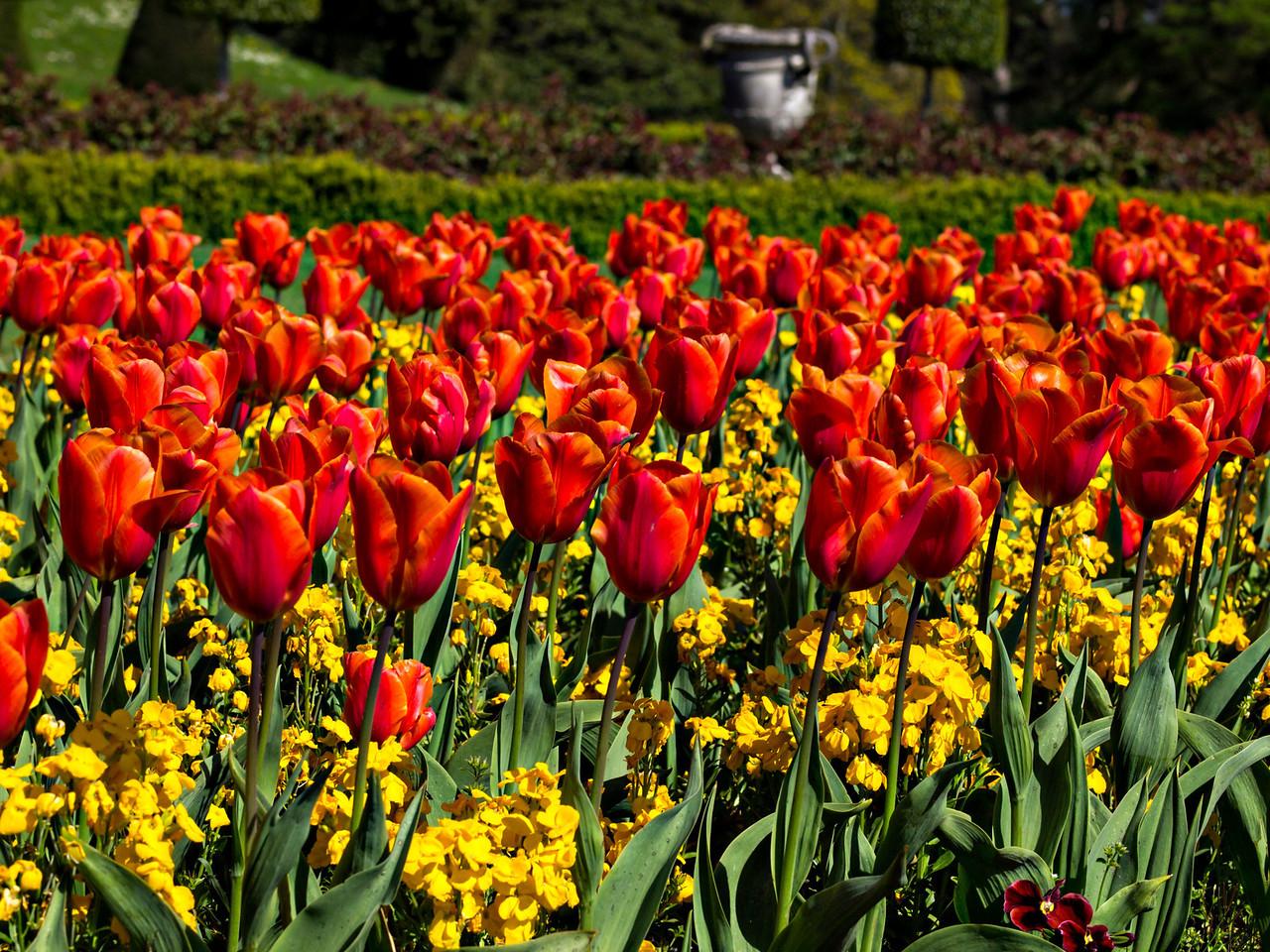 Tulips in the Powerscourt Gardens