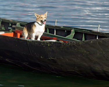 Dog in a currach, Dingle, County Kerry, Ireland.