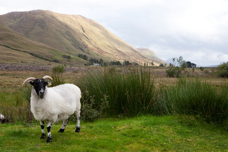 Sheep at Ashmount, Leenane Co. Galway