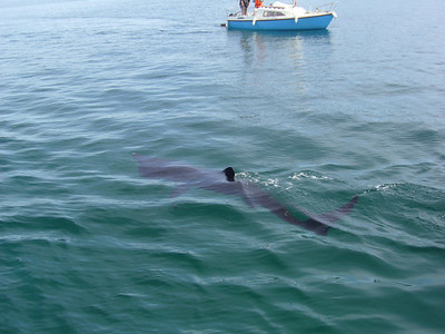 inishbofin, ireland- that's a big basking shark, ~12 feet long.