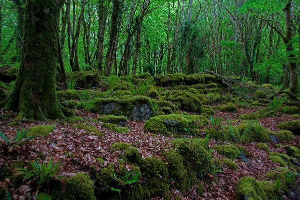 Irish Forest 683