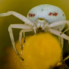 Crab Spider (Thomisidae) in Calla Lily (Zantedeschia aethiopica) 5