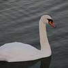 Swans at Adare