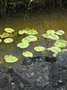 Tanya's lilly pads.  All the way to Ireland, to look at lilly pads.