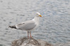 This gull was rather annoyed with me, as I didn't have any bread for him.