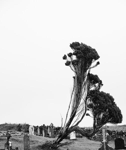 Windbent trees