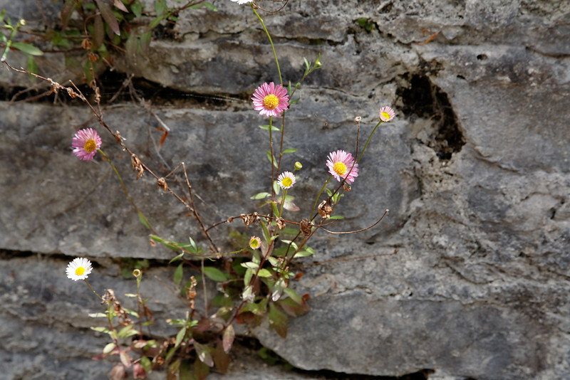Flowers in a wall at Muckross House, Killarney