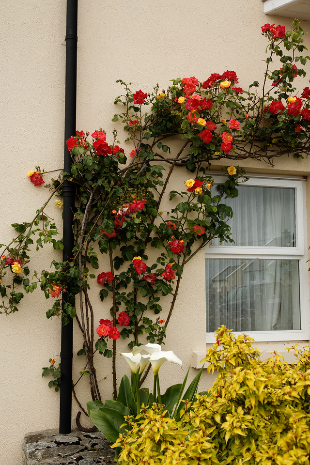 Roses, Clifton