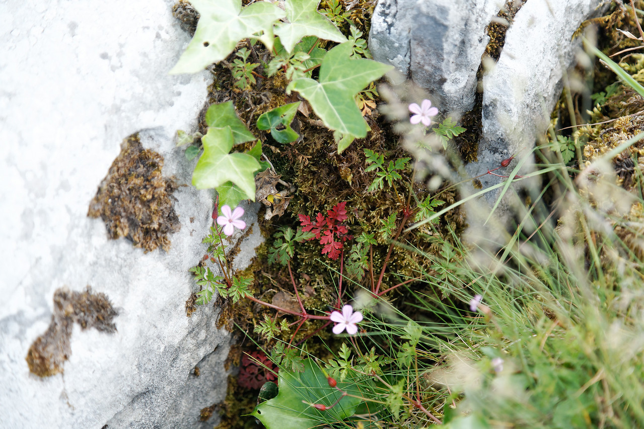 Flowers growing in cracks in the limestone, The Burren