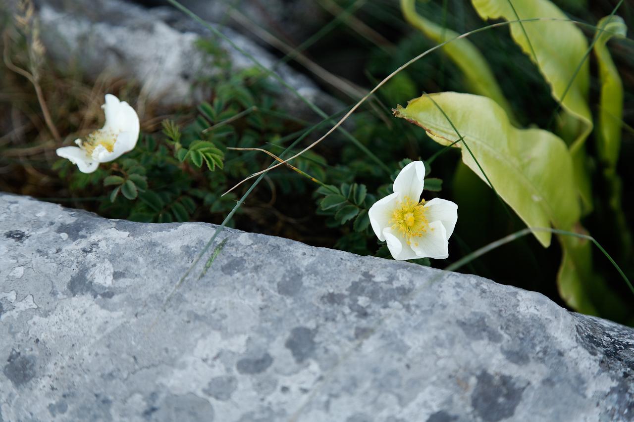 Flowers growing in cracks in the limestone, The Burren