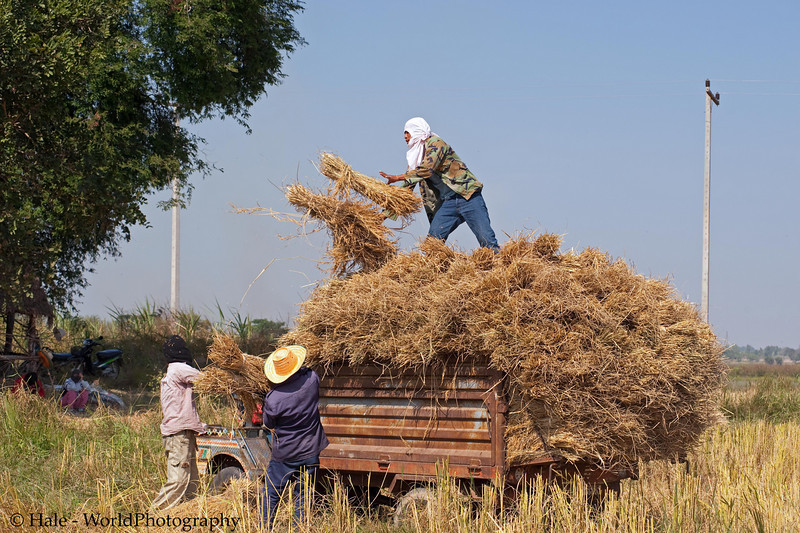 Gathering In the Sheaves In Isaan